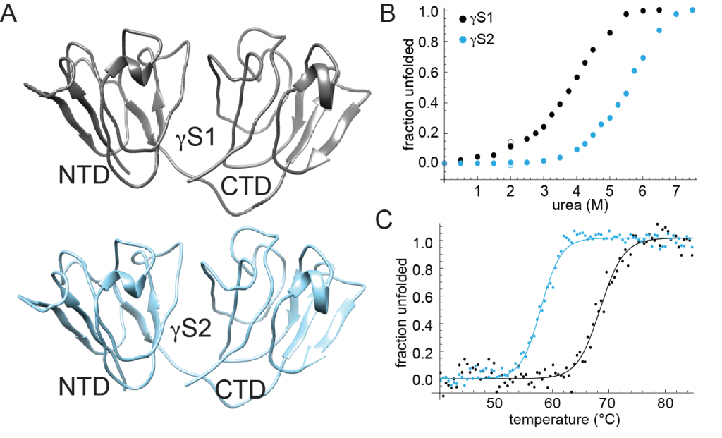 (A) Homology models of γS1 and γS2 from Antarctic toothfish (based on the structure of human γS-crystallin).  (B) Unfolding of γS1- and γS2-crystallin in urea, measured using CD spectroscopy. (C) CD-detected thermal denaturation profile of γS1- and γS2-crystallin.  Surprisingly, although γS1 has the higher thermal stability of the two, it is more susceptible to chemical denaturation.