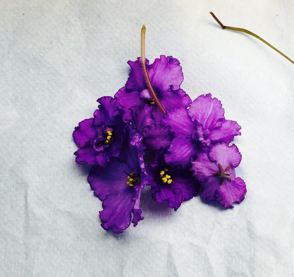 African Violet Pigment Identification Martin Lab At Uci